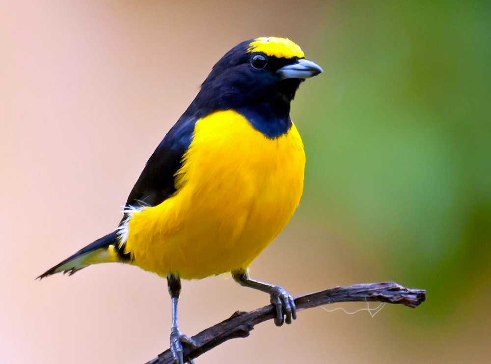 311605-bird-pictures-black-and-yellow