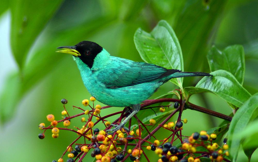 Green-Honeycreeper---Bird-Watching