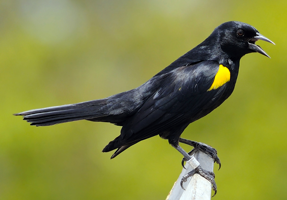 Yellow-shouldered_Blackbird_5_Mike_Morel